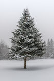 Spruce Tree in Winter Snow Storm. Portrait of spruce tree during heavy snow fall in winter with forest tree line in the background royalty free stock photo