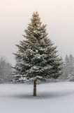 Spruce Tree in Winter Snow Storm with Sunshine. Northern spruce tree on snowy landscape during winter storm with sunlight breaking through the grey sky royalty free stock images