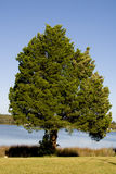 Spruce Trees Stock Photos