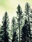 Spruce trees, black silhouettes, green toned photo Royalty Free Stock Images