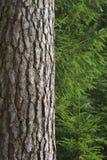 Spruce trees Royalty Free Stock Photos