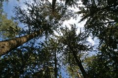 Spruce trees and cloudscape Stock Image
