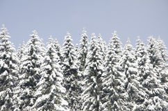 Spruce trees covered in fresh snow. Blue sky in the background Royalty Free Stock Images