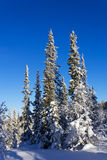 Spruce trees covered with snow Stock Image