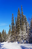 Spruce trees covered with snow Royalty Free Stock Images