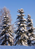 Spruce Trees Covered by Snow Royalty Free Stock Photo