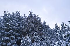 Spruce trees covered with snow. Background. royalty free stock photo