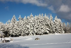 Spruce trees covered in snow Stock Photography