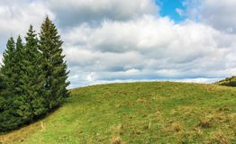 Spruce trees on the edge of a grassy hill. Lovely nature scenery on september cloudy day stock photo