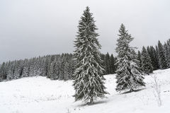 Spruce trees on a field covered with snow. Spruce trees on a field on Pokljuka, Slovenia, covered with snow on a cloudy day Stock Photo