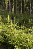 Spruce trees forest Royalty Free Stock Photos