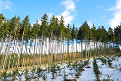 Spruce trees forest with spruce seedlings in winter Royalty Free Stock Photo