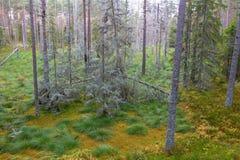spruce trees för skog Arkivbild