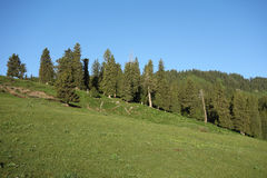 Spruce trees with grassland in summer stock photo