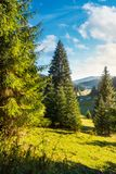 Spruce trees on grassy hill above the valley. With river in the distance. beautiful early october landscape stock photography