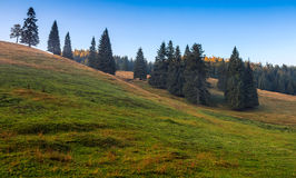 Spruce trees on a grassy hill in morning light Royalty Free Stock Image