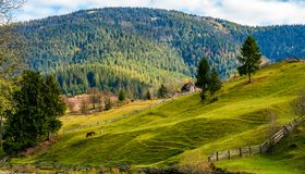 Spruce trees on grassy hills in autumn mountains Stock Photography
