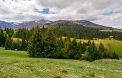 Spruce trees on grassy hills in Carpathians. Lovely springtime scenery in mountains on a cloudy day royalty free stock photo