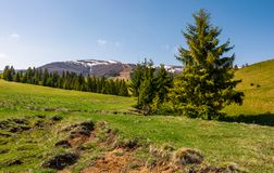 Spruce trees on a grassy meadow in mountains. Beautiful nature scenery in springtime Stock Images
