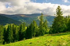 Spruce trees on the grassy slope. Wonderful scenery in mountains. beautiful weather with clouds over the ridge Royalty Free Stock Photo
