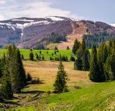 Spruce trees on grassy slopes in mountainous area. Gorgeous landscape of Carpathian mountains in springtime Royalty Free Stock Photo