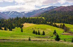 Spruce trees on grassy slopes in mountainous area. Gorgeous landscape of Carpathian mountains in springtime Royalty Free Stock Photography