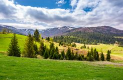 Spruce trees on grassy slopes in mountainous area. Gorgeous landscape of Carpathian mountains in springtime Royalty Free Stock Photo