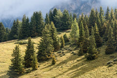 Spruce trees. Growing on alpine meadow stock photo