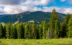 Spruce trees on hillside on cloudy day. Gorgeous weather in Carpathian mountains in autumn Stock Photography