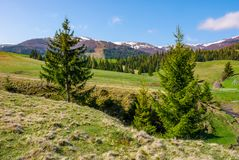 Spruce trees on the meadow in mountains. Beautiful countryside with snowy tops of mountains in the distance stock photography