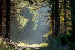 Spruce Trees in the Mist with Sun Rays. Spruce forest in the mist with sun rays in early morning, Zlate Hory (Golden Mountains), Eastern Sudetes, Czech Republic Royalty Free Stock Photos