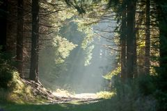 Spruce Trees in the Mist with Sun Rays. Spruce forest in the mist with sun rays in early morning, Zlate Hory (Golden Mountains), Eastern Sudetes, Czech Republic Royalty Free Stock Photo