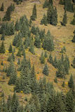 Spruce trees on a mountainside Stock Photography