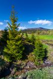 Spruce trees near the brook in springtime. Lovely countryside scenery in rural area. fresh green grassy fields on hills. deep blue sky with fluffy clouds Stock Photo