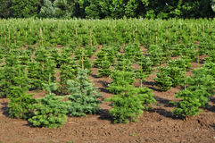 Spruce trees nursery Royalty Free Stock Image
