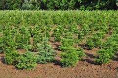 Spruce trees nursery royalty free stock image