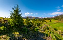 Spruce trees over the grassy slope. Beautiful springtime landscape of rural area. wooden fence around the agricultural field. mountain ridge with snowy tops in stock photos