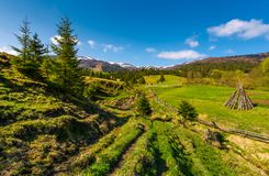 Spruce trees over the grassy slope. Beautiful springtime landscape of rural area. wooden fence around the agricultural field. mountain ridge with snowy tops in Stock Image
