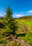 Spruce trees over the grassy slope. Beautiful springtime landscape of rural area. wooden fence around the agricultural field. mountain ridge with snowy tops in stock photo
