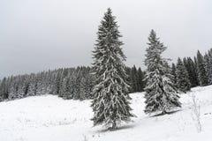 Spruce trees på ett fält som räknas med snow Arkivfoto