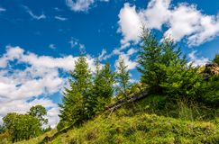 Spruce trees on a slope under the blue sky Stock Image