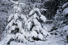 Spruce trees in snow Royalty Free Stock Images