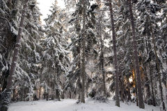 Spruce trees in snow Royalty Free Stock Photos