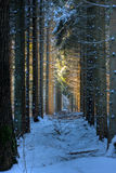 Spruce trees in snow. Spruce trees in a row in the snow, last sunrays on some trees in the back Stock Photo