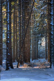 Spruce trees in snow. Spruce trees in a row in the snow, last sunrays on some trees in the back Royalty Free Stock Photography