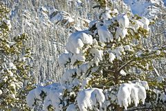 Spruce Trees in Snow Stock Images