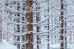 Spruce trees with snow Royalty Free Stock Photos