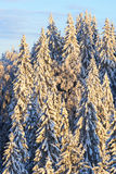 Spruce trees with snow Stock Images