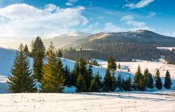 Spruce trees on snowy hillsides at sunrise Royalty Free Stock Photo