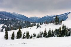 Spruce trees on snowy rural hillside in mountains. Spruce trees on snowy hillside in mountains. beautiful winter countryside scenery on an overcast day royalty free stock images